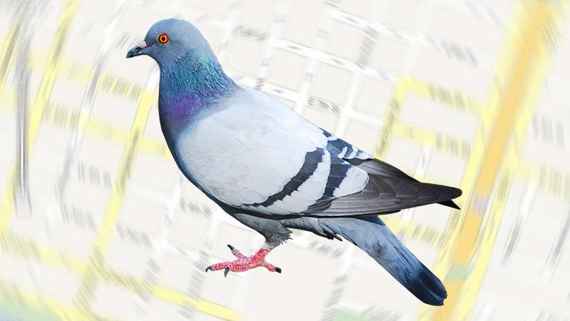 Seosurfer-pigeon-update800x450